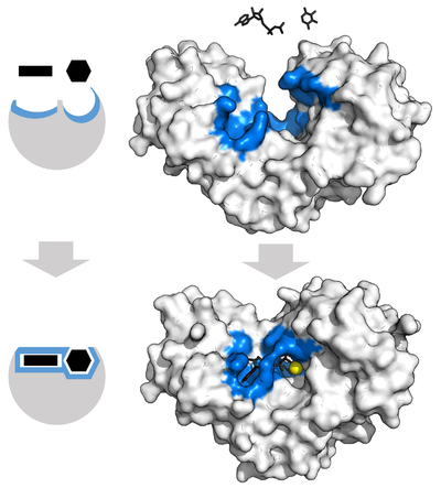 Hexokinase displayed as an opaque surface with a pronounced open binding cleft next to unbound substrate (top) and the same enzyme with more closed cleft that surrounds the bound substrate (bottom)