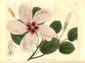 Hibiscus-liliiflorus-Curtis.jpg