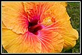 Hibiscus Orange and Red-1+ (2557161719).jpg