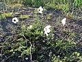 Hibiscus trionum, habitus, Springbokvlakte.jpg