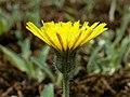 Hieracium pilosella kz04.jpg