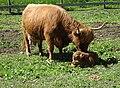 Highland cattle vid Väsby gård, maj 2019.jpg