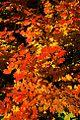 Highway 20 Fall Colors (Linn County, Oregon scenic images) (linnDA0079).jpg