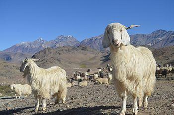 Himalayan-Goats.jpg