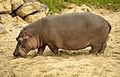 HippopotamusAmphibius.jpg