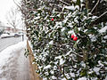 Holly in the snow (8399256430).jpg