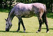 Holsteiner Pferd