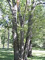 Honey Locust P9190056.jpg