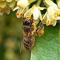 Honeybeecollecting.jpg