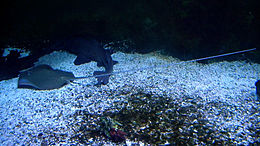 A spotted stingray with a long tail, lying on sand with a nurse shark in an aquarium