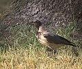 Hooded crow (28420931323).jpg