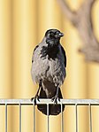 Hooded crow (Corvus cornix) - עורב אפור.jpg