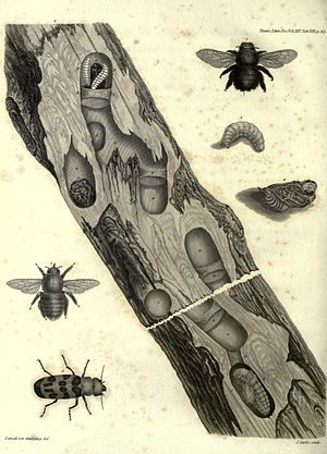 Lansdown Guilding - Guilding's illustration of the life history of Cissites maculata and Xylocopa
