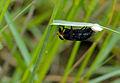 Horse Fly (Tabanidae) female laying eggs (12615749733).jpg
