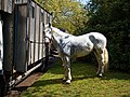Horse drawn hearse horse City of London Cemetery 3.jpg