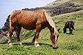 Horses at Kuniga coast, Nishinoshima (5).jpg