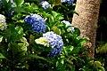 Hortensia (Hydrangea macrophylla) (14414370344).jpg
