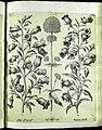 Hortus Eystettensis, Vorzeichnungen (MS 2370 2952644) -Aestiva,1,3.jpg