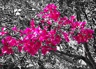 Shades of pink - A bougainvillea with shocking pink flowers