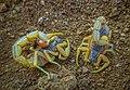 Hottentotta tamulus.jpg