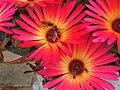 Hoverflies on Mesembryanthemums - geograph.org.uk - 1426897.jpg