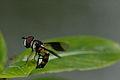 Hoverfly Syrphidae BN3Q1417.JPG