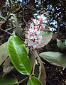 Humboldtia brunonis Wall. 01.JPG
