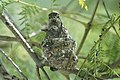 Hummingbird Nest (25644658732).jpg