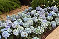 Hydrangea macrophylla Mathilda Gutges 9zz.jpg