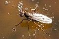 Hydrophorus.litoreus.-.lindsey.jpg