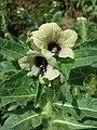 Hyoscyamus niger sl29.jpg