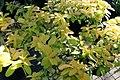Hypericum calycinum Brigadoon 3zz.jpg