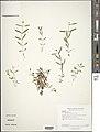 Hypericum canadense plant (02).jpg