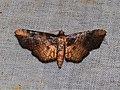 Hypolamprus sp. (Thyridoidea- Siculodinae- Siculodini) (22899015171).jpg