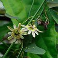 IMG 2309-Passiflora biflora.jpg