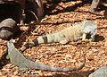 Iguana iguana LoroParqueTenerife green iguana IMG 5139.JPG