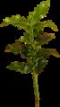 Ilex aquifolium 2.png