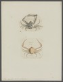 Ilia nucleus - - Print - Iconographia Zoologica - Special Collections University of Amsterdam - UBAINV0274 096 07 0002.tif
