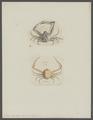 Ilia nucleus - - Print - Iconographia Zoologica - Special Collections University of Amsterdam - UBAINV0274 096 07 0002.tif