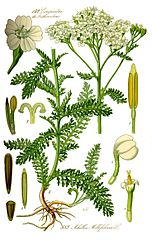 Rebríček obyčajný (Achillea millefolium)