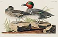 Illustration from Birds of America (1827) by John James Audubon, digitally enhanced by rawpixel-com 228.jpg