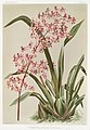 Illustration from Reichenbachia Orchids by Frederick Sander, digitally enhanced by rawpixel-com 026.jpg