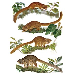 Illustrations of the species of Bassaricyon - ZooKeys-324-001-g003.jpg
