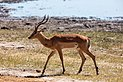 Impala (Aepyceros melampus), parque nacional de Chobe, Botsuana, 2018-07-28, DD 08.jpg