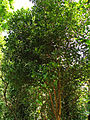 India - Kerala - 061 - spice plantation - allspice tree (2077694231).jpg