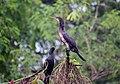 Indian Cormorant-Sub adult.jpg