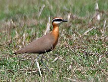 Indian courser, Cursorius coromandelicus