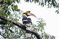 Indian Hornbill-2.jpg