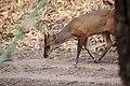 Indian Muntjac Muntiacus muntjak or barking deer.jpg