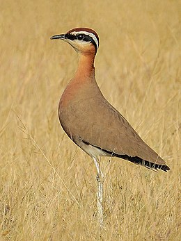 Indian courser (Cursorius coromandelicus) Photograph by Shantanu Kuveskar.jpg